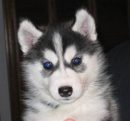 huskie puppies