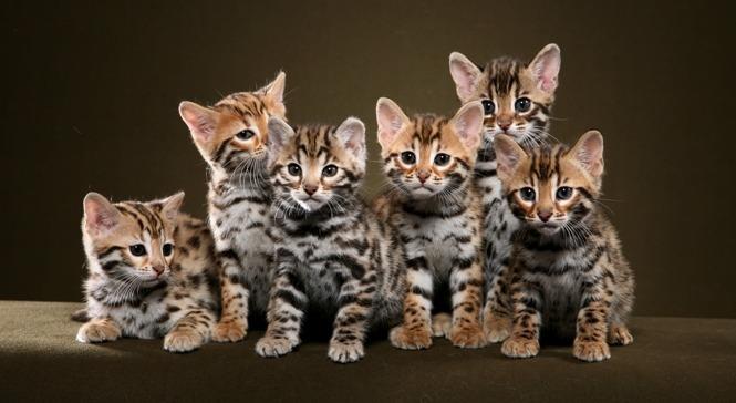 hybridcats